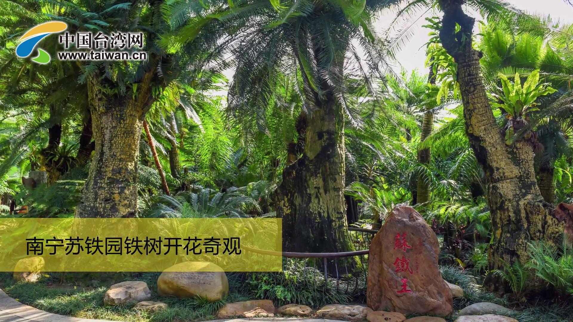 南寧蘇鐵園鐵樹開花奇觀圖片