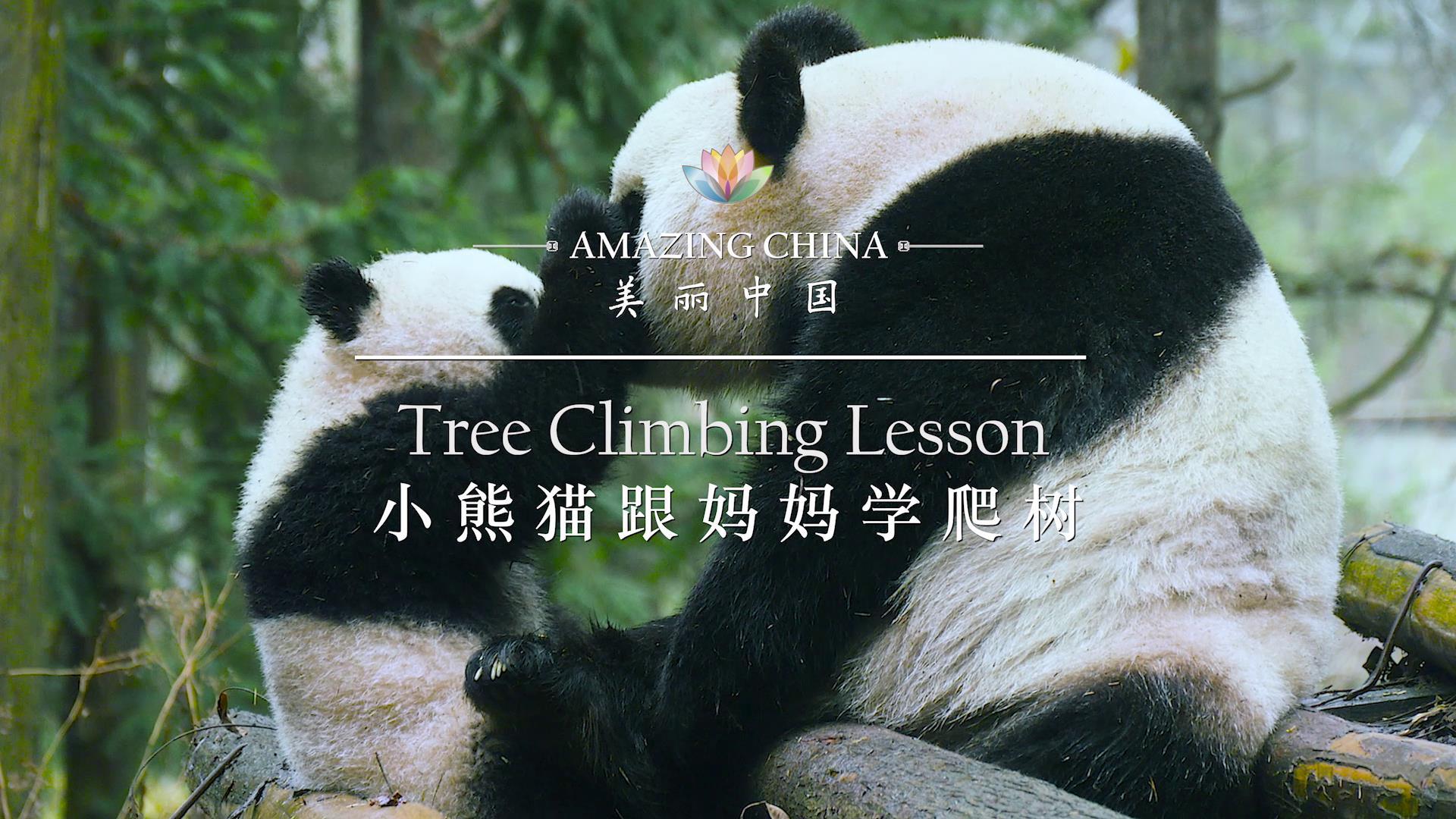 【美麗中國】小熊貓跟媽媽學爬樹圖片