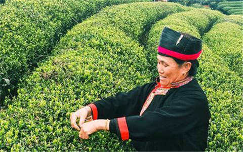 2017海峽兩岸少數民族茶産業交流會在福建寧德舉行.jpg