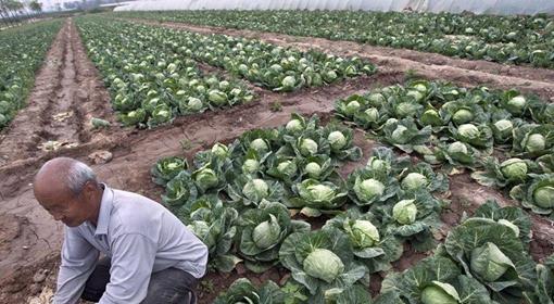 全國蔬菜現區域性滯銷 部分品種跌破採摘成本價.jpg