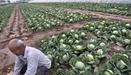 全國蔬菜現區域性滯銷 部分品種跌破採摘成本價