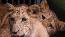 海南成功繁育獅虎獅獸 創生殖奇跡