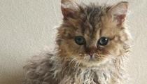 友曬稀有卷毛品種貓