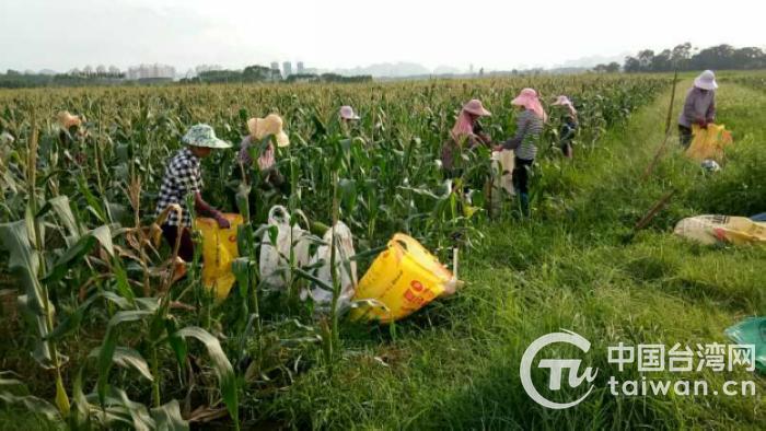 農戶正在玉米地裏忙碌.jpg
