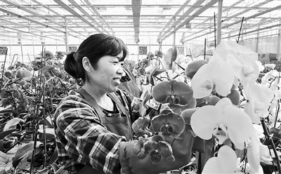 臺灣蘭花在新疆綻放(圖)
