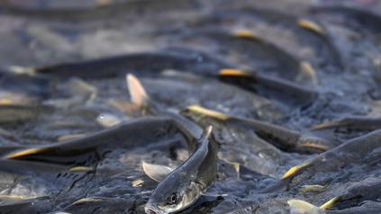 青海湖裸鯉資源量超10萬噸 較保護初期增長約38倍