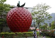 """臺灣寫真:""""草莓之鄉""""未曾褪去的甜蜜"""