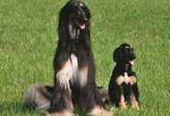 """研究披露:全球首只克隆犬被再科隆 有三隻""""後代"""""""