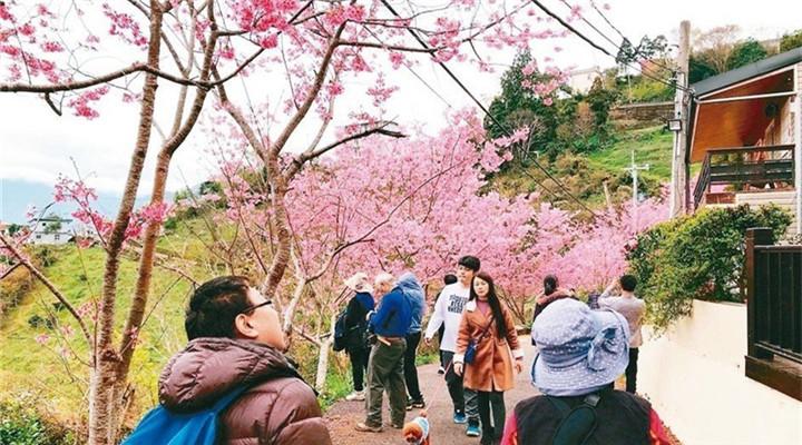 臺北櫻花盛開 路邊橋下處處是景