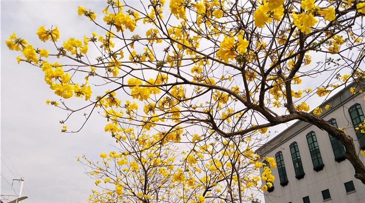 臺灣黃花風鈴木盛開 黃澄澄一大片映亮天空