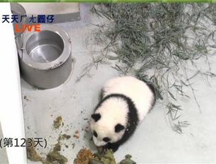"""熊貓""""圓仔""""玩大便遭禁.jpg"""