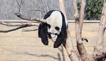世界睡眠日動物睡姿大比拼 猴子最溫情熊貓高難度