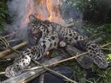 印度花豹襲擊5名拾柴村民 被棍棒打死後焚屍